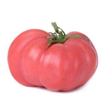 طماطم جبلي